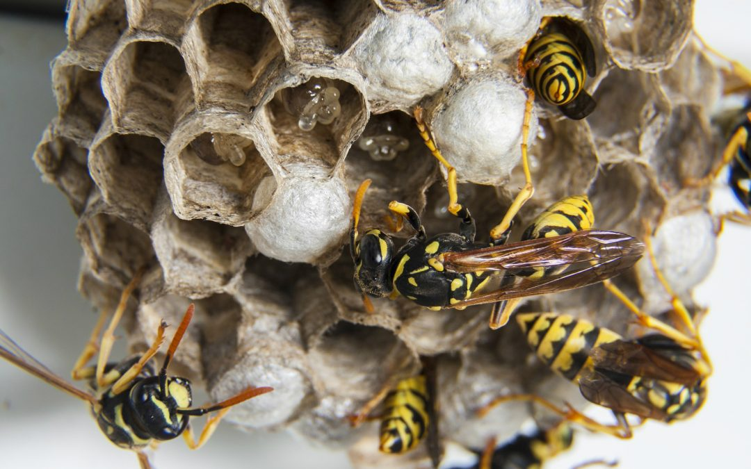 Wasp Life Cycle and Lifespan