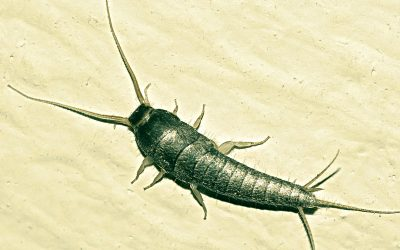 Bugs That Look Like Silverfish