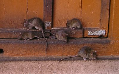 What Do Rat Droppings Look Like?