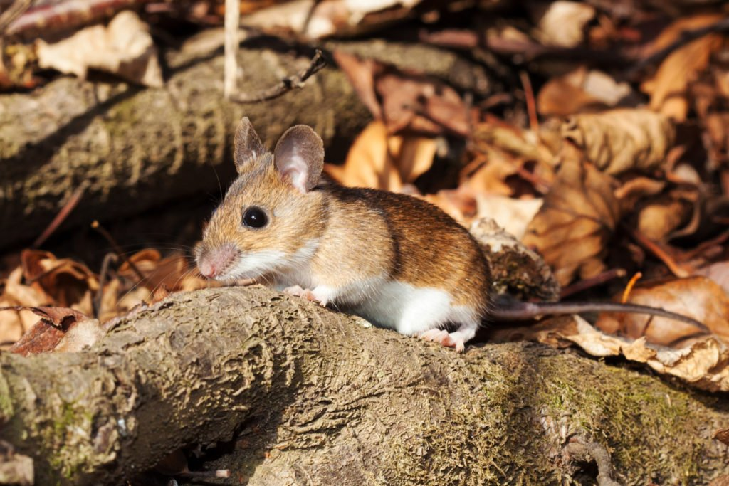 White-footed mice