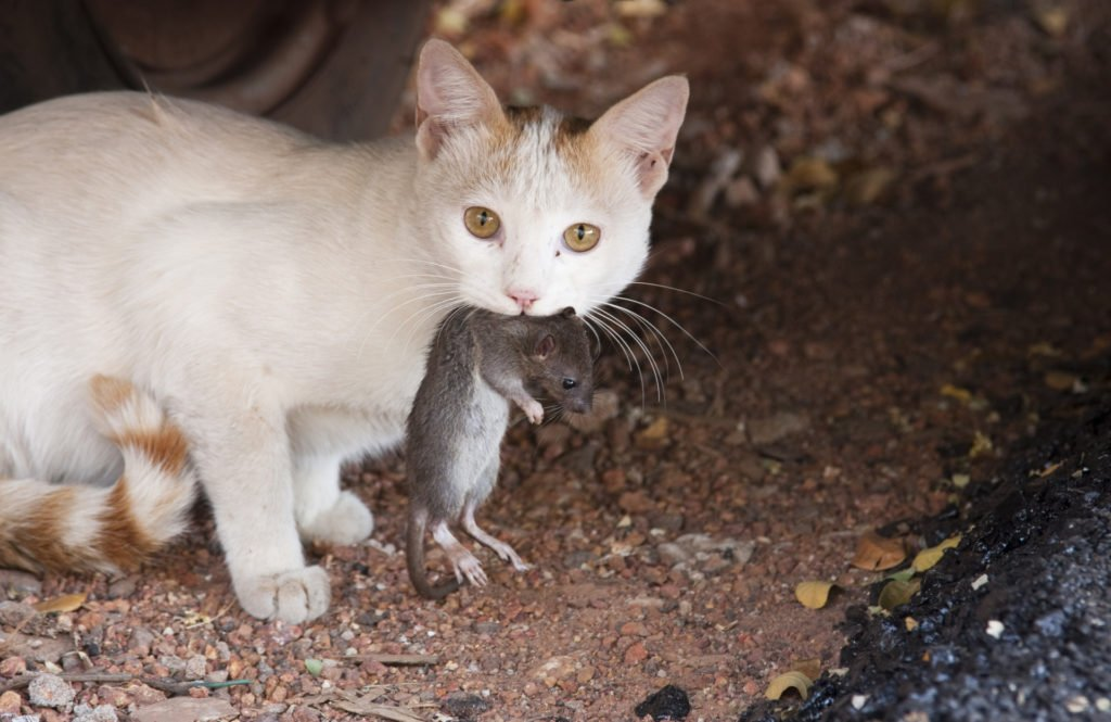 cat with rat
