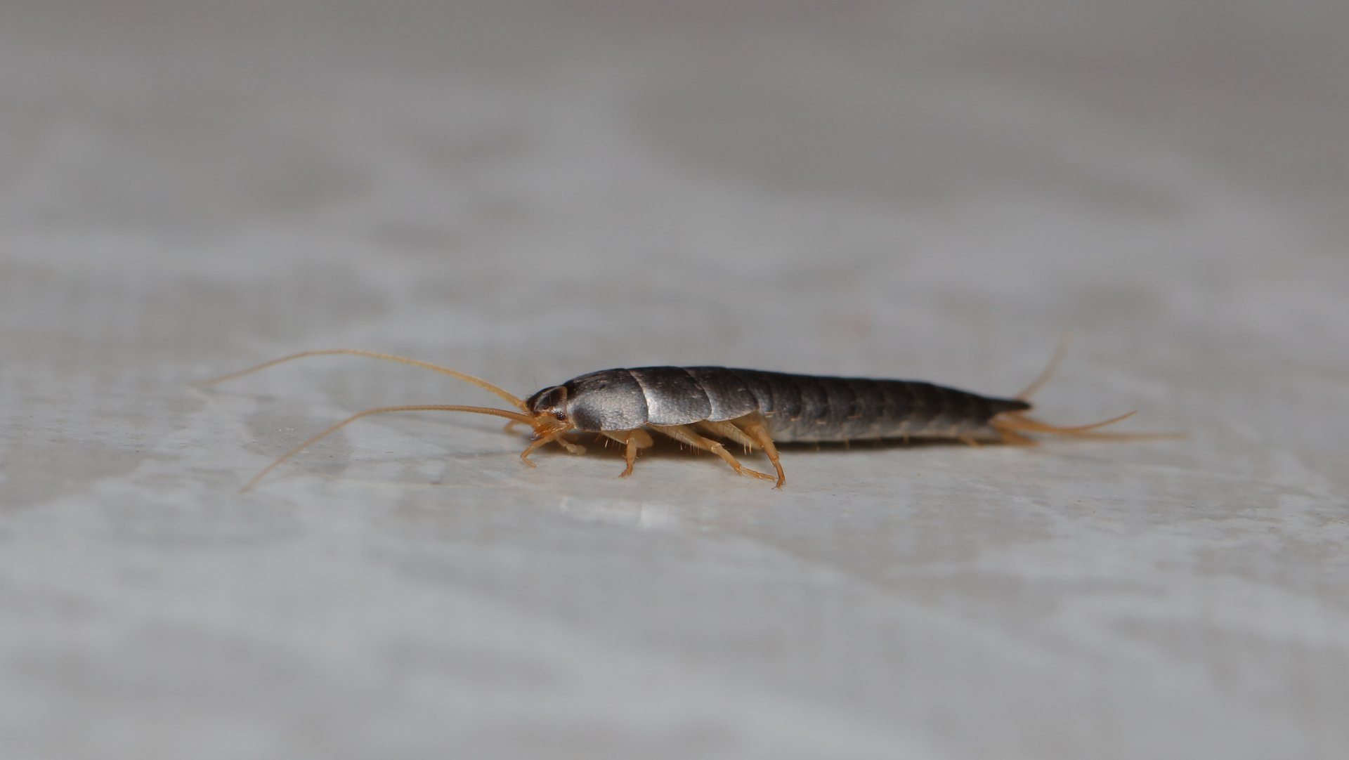 Bugs That Look Like Silverfish Insect Cop