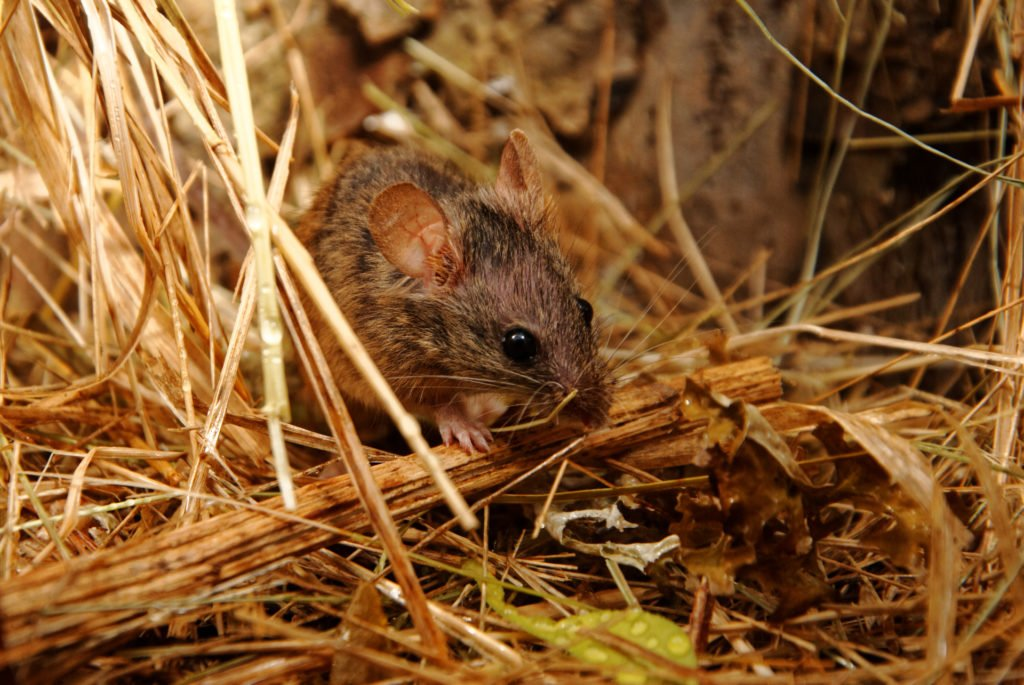 Mouse in dry grass