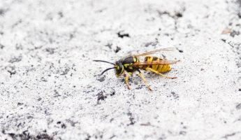 wasp on a white background