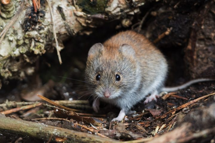 vole near its hole