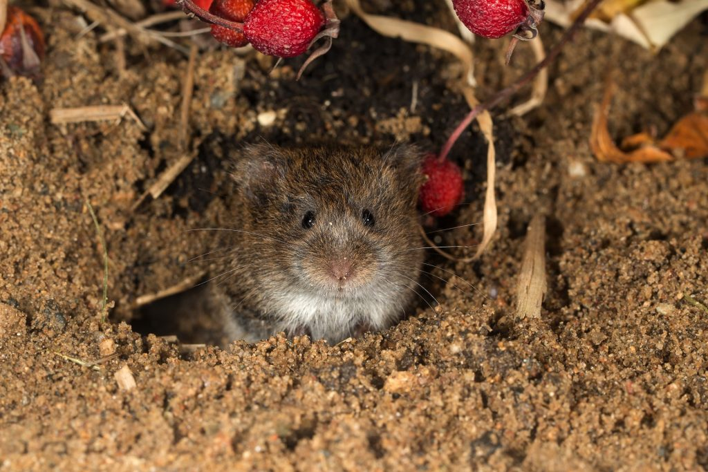 vole sitting in a tunnel