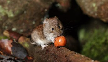 vole chewing on a nut