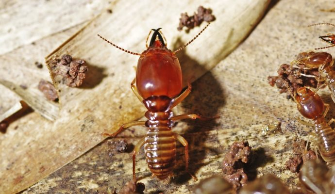 a soldier termite is guarding worker termites