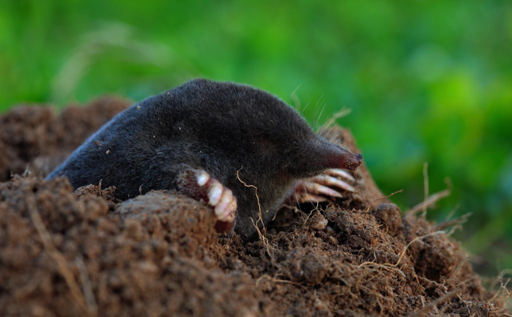 mole in the dirt