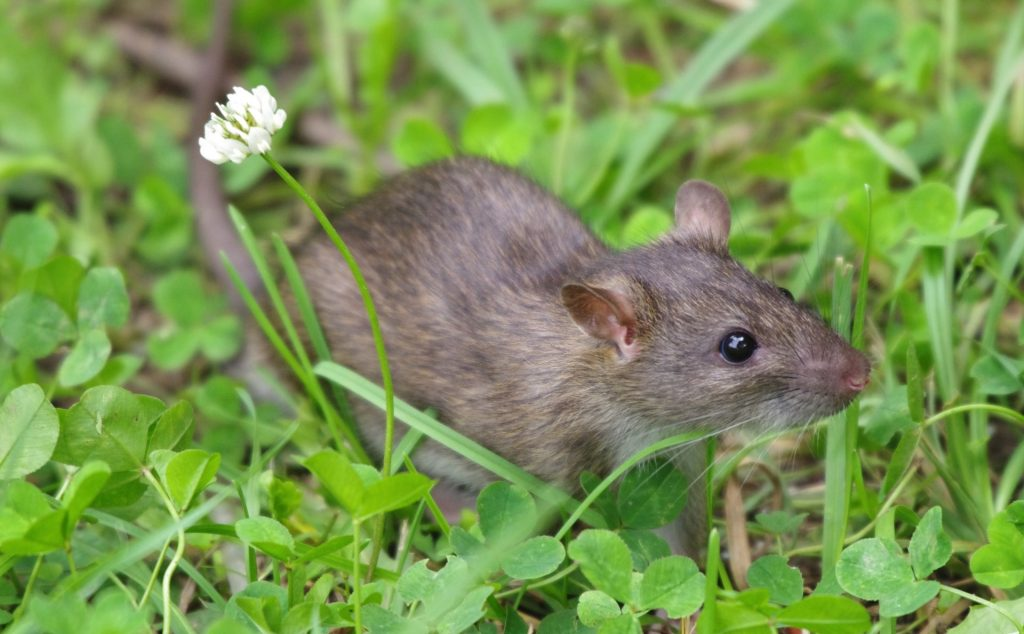 rat in the grass