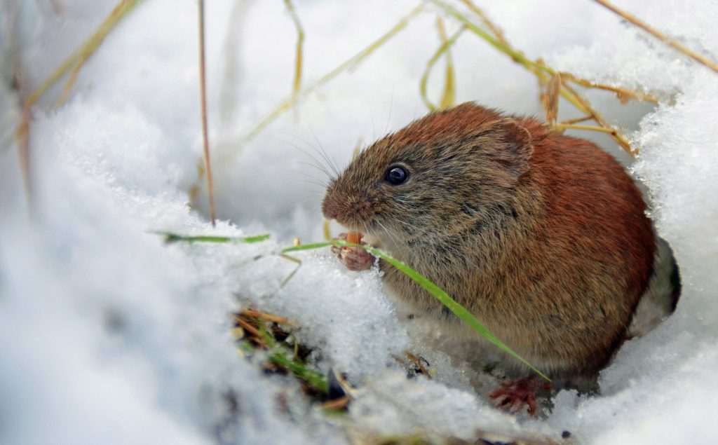 Vole in the winter eating grass
