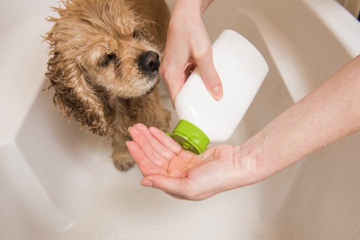 using dog flea shampoo