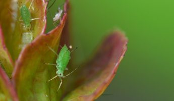 the Two Types of Aphid Reproduction Asexual and sexual
