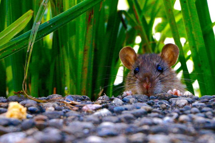 what smells do mice hate