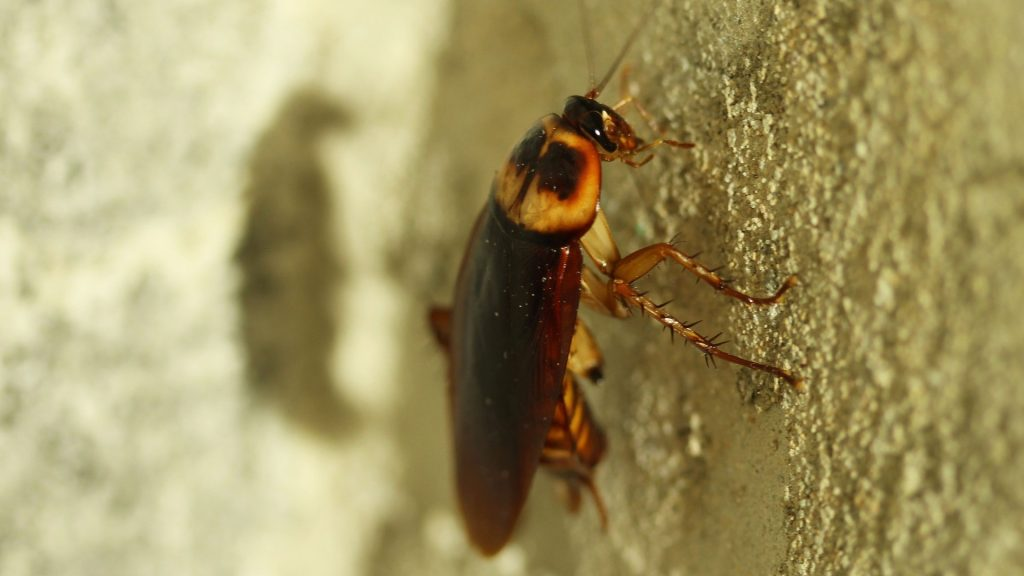 cockroaches eat bed bugs