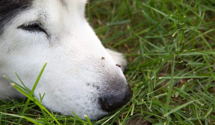 mosquitoes on a dogs nose