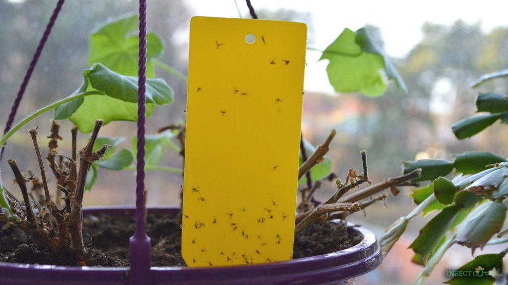 sticky trap with fungus gnats on it