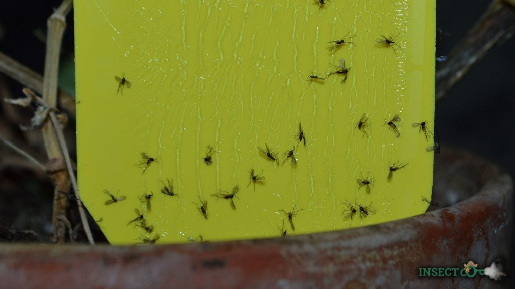 picture of fungus gnats stuck to a trap close-up