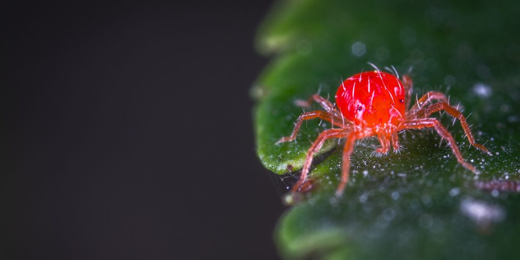 Red clover mite on a green leaf