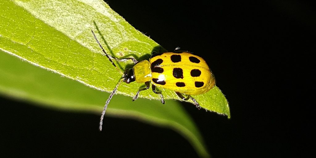 Bugs That Look Like Ladybugs Insect Cop