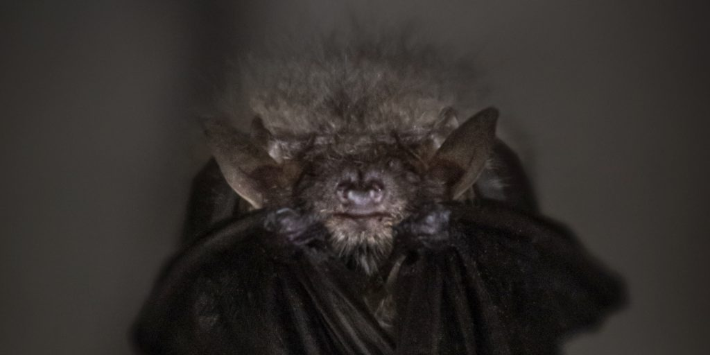 face of a bat